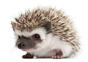 hedgehog_stock_photo